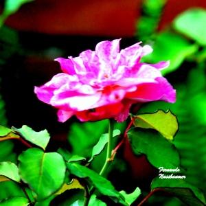 Apenas uma Rosa!