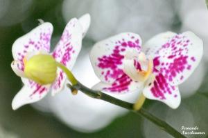 Florescer das Orquídeas.