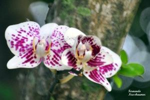 Florescer das Orquídeas